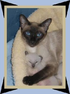 Black Old Time Siamese