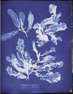 Anna Atkins: Photographs of British Algae (1843-1853):