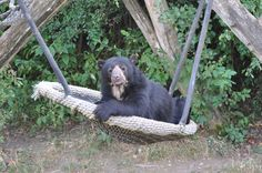 Zoo - Vienna Black Bear, Ferret, Vienna, My Photos, Animals, Animales, American Black Bear, Animaux, Ferrets