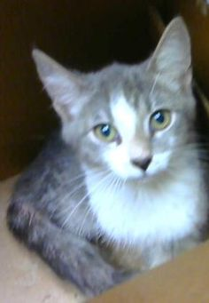 Zoppico - URGENT - Dekalb County Animal Shelter in Decatur, Georgia - ADOPT OR FOSTER - 3 MONTH OLD Male Domestic Shorthair Mix