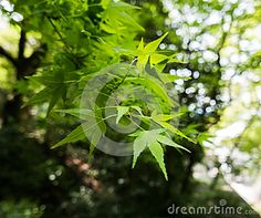 Maple leaves at the edges of a branch in a forest of Kyoto, Japan.
