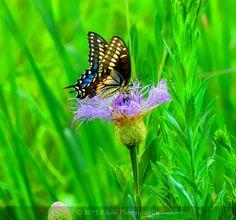 I ♥ butterflies Kibibi Photography