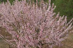 Top 10 Flowering Shrubs: Nanking Cherry