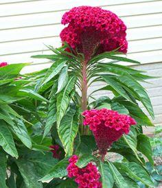 *** CELOSIA *** (Cockscomb - Celosia cristata) Annual