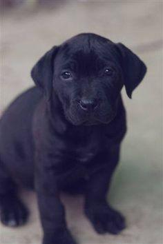 Popular Boerboel Black Adorable Dog - bd8ffa63ae7adc1ac52bdaff491f89b7--hunters-dog-stuff  You Should Have_314290  .jpg
