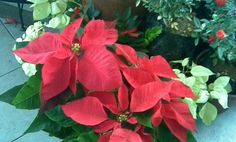 6 Facts on poinsettas..., simple chart that details how to make a poinsettia reflower. Simply, in March, remove the flower and cut stems to 6 inches. In June, repot the plant in a larger pot. Then plant it (in the pot) outside. In July, pinch off the lateral shoots. In late August, take the plant inside. From September 20th to December 1st, keep your poinsettia in light from 8 AM to 5 PM only. Keep it in darkness from 5 PM to 8 AM. This will cause the poinsettia to flower by Christmas