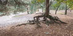 22991722-Root-system-of-a-Scots-Pine-or-Pinus-sylvestris-partly-above-the-ground--Stock-Photo.jpg 1,300×655 ピクセル