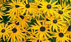Rudbeckia Fulgida Goldturm information, coneflower Goldturm information, late summer perennial, golden flowers, yellow perennial, Rudbeckia Goldsturm, Award winning perennial