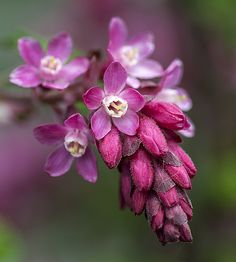 ~~Red-flowering currant by Thirties2007(Barry)~~