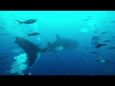 Whale Shark, Galapagos - YouTube