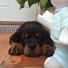 This angelic, sleepy rottweiler pup. Rottweiler Love, Rottweiler Puppies, Lab Puppies, Small Puppies, Cute Puppies, Cute Dogs, Thor, Big Dog Breeds, Support Dog