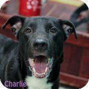 Camden, DE - Labrador Retriever Mix. Meet Charlie, a dog for adoption. http://www.adoptapet.com/pet/10811000-camden-delaware-labrador-retriever-mix