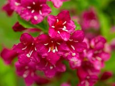 Discover the best small flowering shrubs for your home with our guide. Learn how to choose, plant, and maintain small shrubs and hedges in our handy and helpful guide! Dwarf Flowering Shrubs, Evergreen Shrubs, Small Flowers, Pink Flowers, Burning Bush Shrub, Bobo Hydrangea, Shrubs For Borders, Shrubs For Landscaping, Low Growing Shrubs