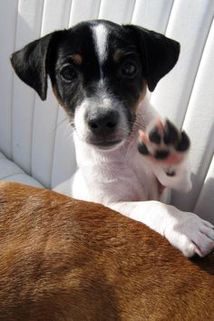 """Jack Russell says """"Pet shop after park please! Parson Jack Russell, Jack Russell Puppies, Jack Russell Terrier, Smooth Fox Terriers, Toy Fox Terriers, Cute Puppies, Cute Dogs, Animals Beautiful, Cute Animals"""