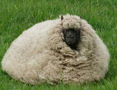 new breed of sheep: the macaroon