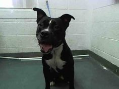 BUTCH (A1640228) I am a male black and white American Bulldog. The shelter staff think I am about 2 years old. I was found as a stray and I may be available for adoption on 09/06/2014. — hier: Miami Dade County Animal Services. https://www.facebook.com/urgentdogsofmiami/photos/pb.191859757515102.-2207520000.1409871574./832237213477350/?type=3&theater