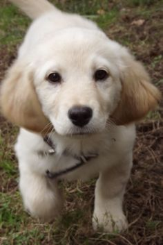 Golden retriever they are so cutteee # love them# want one