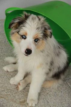 Blue merle border collie :) I shall have one. Tuxeeee, you are gonna get a girlyfriend!