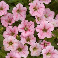 Petunia 'Littletunia Breezy Pink' - An abundance of miniature pink flowers with dark purple veins on this trailing Petunia.