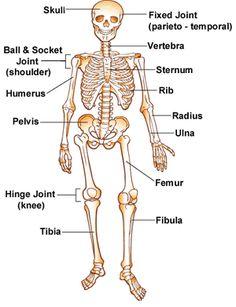 Bones Skeleton