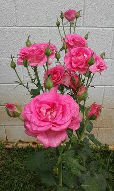 Flowers my Inspiration Beautiful Rose Flowers, Flowers Nature, Amazing Flowers, Beautiful Flowers, Dahlia Wedding Bouquets, Dahlia Bouquet, Dahlia Flower Tattoos, Pink Roses, Pink Flowers
