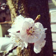 Fiore albicocco Apricot Flower