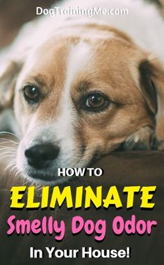 Smelly dog remedies for your home. Get rid of dog odor in the house by using these 7 simple steps. Enjoy your doggy without the stink! Check out all 7 steps in this article!