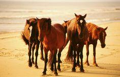 Descendants of Spanish horses stranded on OBX.