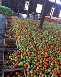 Yummy !!! Inle lake tomatos in Myanmar... Phot