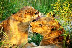 Auch jetzt wieder erhältlich bei @calvendo Safari, Lions, Animals, Tour Operator, Nature Reserve, Elephants, Travel Report, Tours, Pictures
