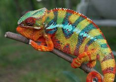 The Panther Chameleon is a species of brightly colorful chameleons that are indigenous in the tropical forest areas of the Republic of Madagascar. Chameleon Facts, Chameleon Lizard, Chameleon Tattoo, Geckos, Colorful Animals, Cute Animals, Colorful Fish, Exotic Animals, Types Of Chameleons