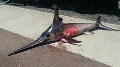 150530042845-hawaii-swordfish-exlarge-169
