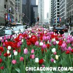 When to Plant Tulips in Chicago