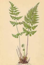 Výsledek obrázku pro kapradina Cactus Plants, Cacti, Cactus