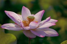 Lotus Flowers in a Small pond in Jōyō City, Kyoto Prefecture. Early morning shots of lotus flowers in Jōyō City, Kyoto Prefecture - Japan. Pink Lotus, Lotus Flowers, Kyoto, Japan, Bloom, Early Morning, Symbols, Pure Products, Pond