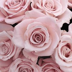 Esther Light Pink Roses