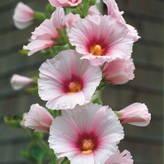 Love hollyhocks.
