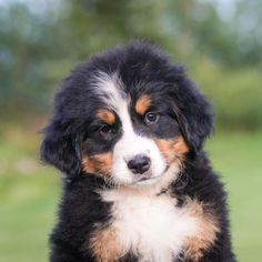 Dog Breeds That Dont Shed, Cute Dogs Breeds, Cute Dogs And Puppies, Mountain Dogs, Bernese Mountain, How Big Is Baby, Corgi, Cute Animals, Ultra Premium