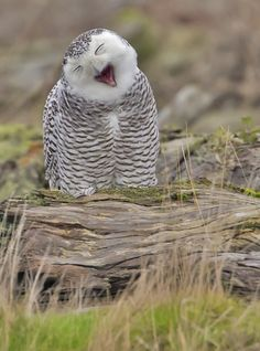 The sun is up - time for me to bed down....owl yawn ...he almost looks like he is laughing..... so cute!!