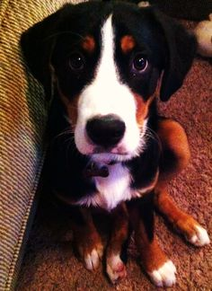 Greater Swiss Mountain Dog Puppy :)