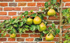 Ovocné stromy – rezať či ohýbať? 10