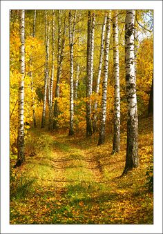 Colorful tree photography paths Ideas for 2019 Landscape Photos, Landscape Art, Landscape Paintings, Autumn Scenes, Aspen Trees, Colorful Trees, Tree Photography, Walk In The Woods, Pictures To Paint