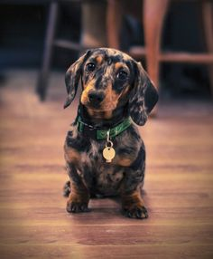 "I like to call mini dachshunds like this little guy a ""Trevor"". The name fits…"