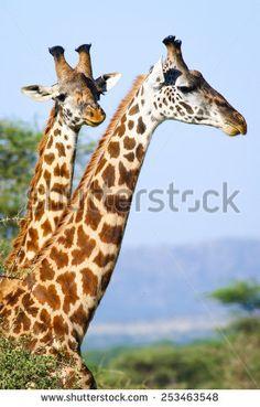 two giraffes portrait - stock photo