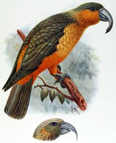 The Norfolk Kaka, (Nestor productus) is an extinct species[1][2] of large parrot, belonging to the parrot superfamily Strigopoidea. John Keulemans illustration of a bird from Norfolk Island, and the head of a Phillip Island specimen