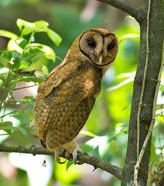 Minahassa Masked Owl -
