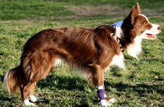 Divot ~ chocolate/white  champion Flyball dog ~ owner Melissa Dailey