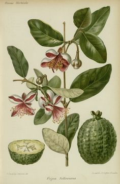 Pineapple Guava, Guavasteen, acca sellowiana, feijoa sellowiana - high resolution image from old book. Pineapple Guava, Guava Fruit, Plant Drawing, Charles Darwin, Exotic Fruit, Botanical Drawings, Plantation, Illustration Art, Illustrations