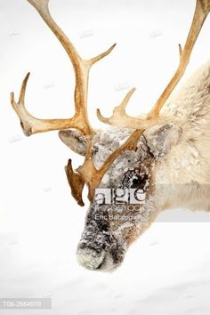 Head portrait of ice covered Reindeer (Rangifer tarandus) during storm, Yar-Sale district, Yamal, Northwest Siberia, Russia.  © Eric Baccega / age fotostock - Stock Photos, Videos and Vectors