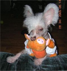 Chinese Crested Layci